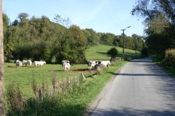 paysage vaches